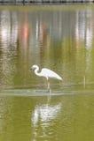 Great White Egret Ardea Alba fishing Stock Photos