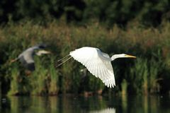 Great white egret Ardea alba flying Stock Images