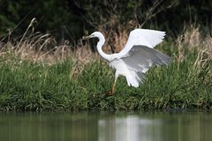 Great white egret Ardea alba Royalty Free Stock Image