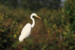 Great white egret Ardea alba hunting Royalty Free Stock Photography