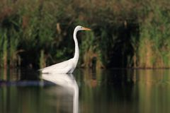 Great white egret Ardea alba hunting Royalty Free Stock Images