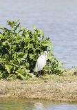 Great White Egret, Ardea alba Stock Photography