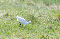 Great White Egret, Ardea alba Royalty Free Stock Photos