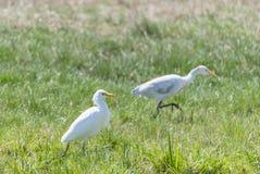 Great White Egret, Ardea alba Royalty Free Stock Image