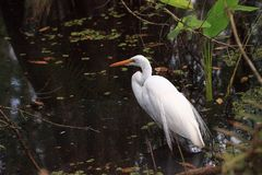 Great White Egret Ardea alba perches in a pond royalty free stock photo