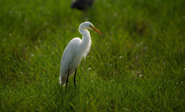 Great White Egret in a back lit green field Royalty Free Stock Photo