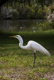 The great white egret on a background of green grass. White Crane Royalty Free Stock Photo