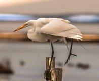 Great White Egret Balancing On One Leg Royalty Free Stock Photo