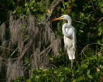 Great White Egret on The Banyan Tree. This Egret on Banyan Tree captured in Naples,Florida stock photography