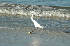 Great White Egret on beach Stock Image