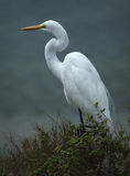 Great white egret on the beach. Stock Image