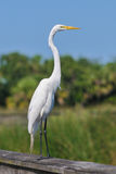 Great white egret bird Royalty Free Stock Images