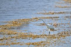 Great white egret bird Royalty Free Stock Photos