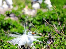 Great white egret bird in breeding plumage Stock Photography