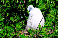 Great white egret bird preening its breeding plumage Royalty Free Stock Image