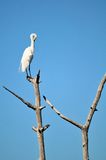 Great white egret bird on top of tree preening Royalty Free Stock Image