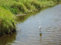 The Great White Egret. A bird treading through some Florida water Stock Images