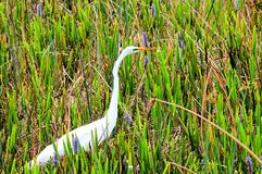 Great white egret bird in wetlands Stock Photography