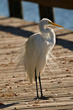 Great White Egret on Boardwalk Stock Photos