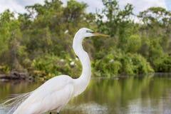 Great White Egret Body Profile Royalty Free Stock Photo