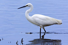 Great White Egret - Botswana. A Great White Egret (Egretta alba) in the Chobe River in northern Botswana. The Great White Egret normally has a yellow bill except Stock Images