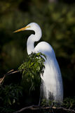 Great White Egret with breeding feathers royalty free stock photo