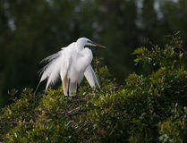 Great white egret in breeding plumage Royalty Free Stock Images
