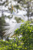 Great White Egret Royalty Free Stock Photo