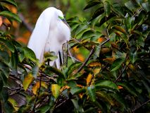 Great white egret in breeding plumage in nest, Florida Stock Photo