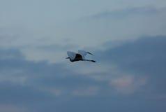 Great White Egret Casmerodius albus in flight against the sky Stock Image