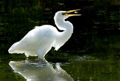 Great White Egret with a Catch. Great White Heron (Ardea alba) tosses small fish that it caught in order to swallow it Royalty Free Stock Photo