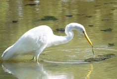 Great White Egret Catches Algae. Great White Heron (Ardea alba)pulls up a piece of green Algae instead of a fish Stock Image