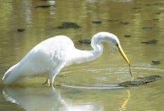 Great White Egret Catches Algae Stock Image