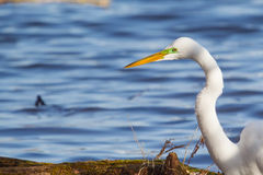 Great White Egret Catching fish Stock Photos