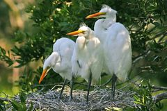 Great white egret chicks Stock Images