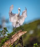 Great white egret coming in for landing Stock Photos