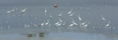 Great White Egret congregation Royalty Free Stock Image