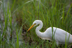 Great White Egret in contrast to a green paddy field. A great white egret in a paddy field looking for fish royalty free stock images