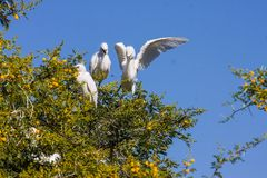 Great White Egret couple, Egretta alba on nesting Stock Photo