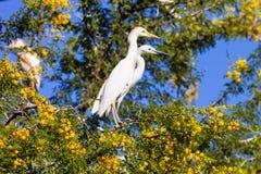 Great White Egret couple, Egretta alba on nesting Royalty Free Stock Photos
