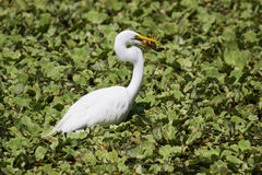 A Great White Egret at Crokscrew swamp Florida. A Great White Egret in Florida Standing in a swamp surrounded by floating water lettuce holding a fish in his stock photos