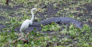 A Great White Egret at Crokscrew swamp Florida. A Great White Egret in Florida Standing in a swamp surrounded by floating water lettuce next to an alligator stock photography