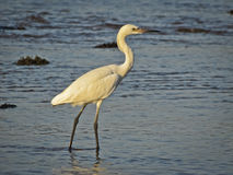 Great White Egret dining in the morning. Royalty Free Stock Images