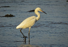 Great White Egret dining in the morning. Stock Photography