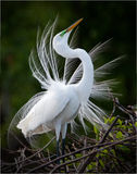 Great White Egret bird. Side portrait of Great White Egret bird showing mating display Stock Photos