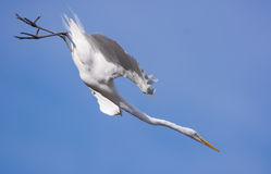 Great White Egret Dive Stock Photos