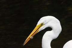 Great White Egret Eating a Fish Stock Image