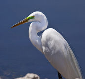 Great White Egret at Edge of Water Royalty Free Stock Photography