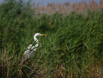 Great white egret Egreta alba fishing. In the swamp on a summer day Stock Photography