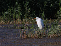 Great white egret Egreta alba fishing Royalty Free Stock Image